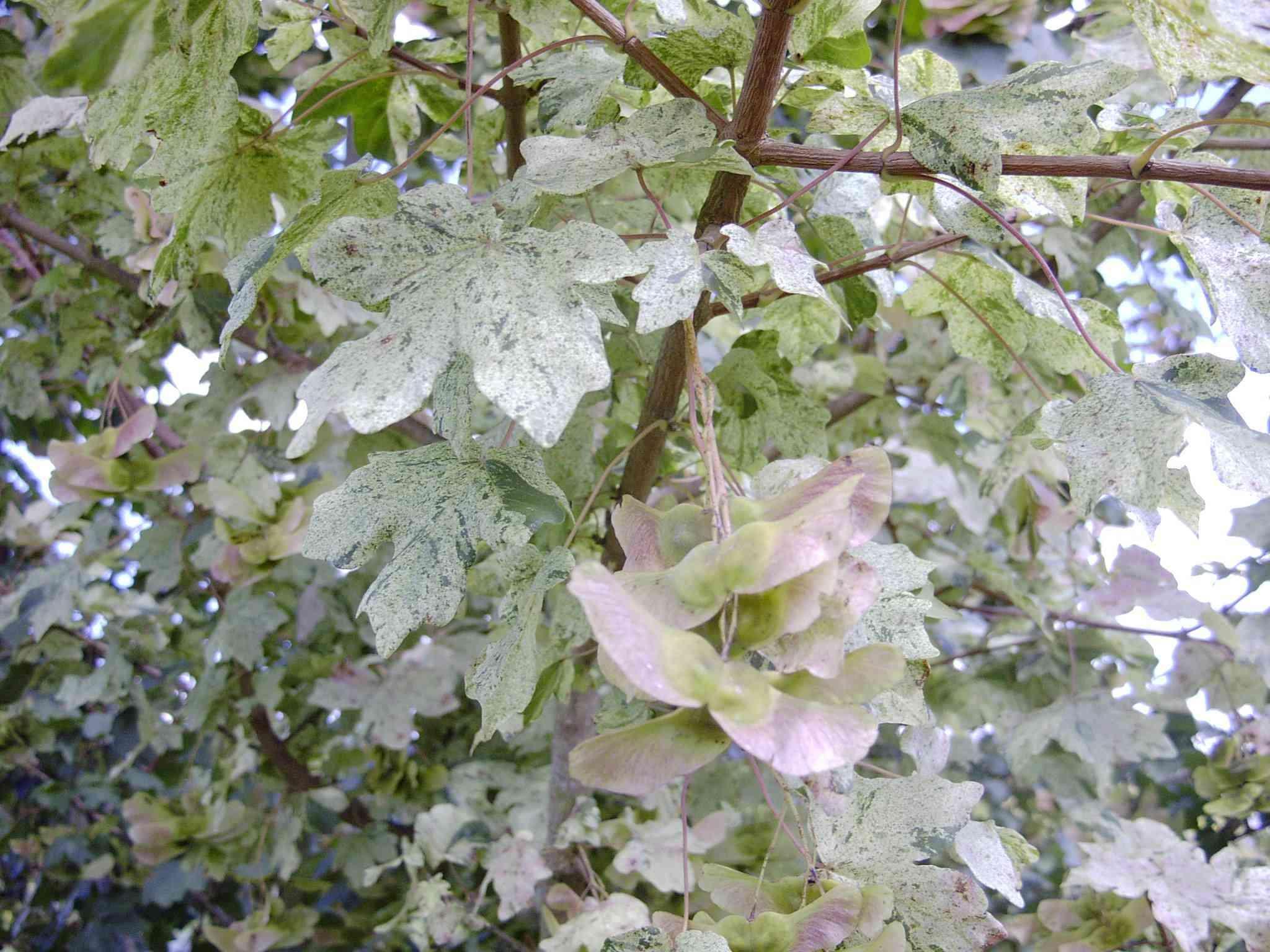 Acer Campestre 'pulverulentum' Aceraceae