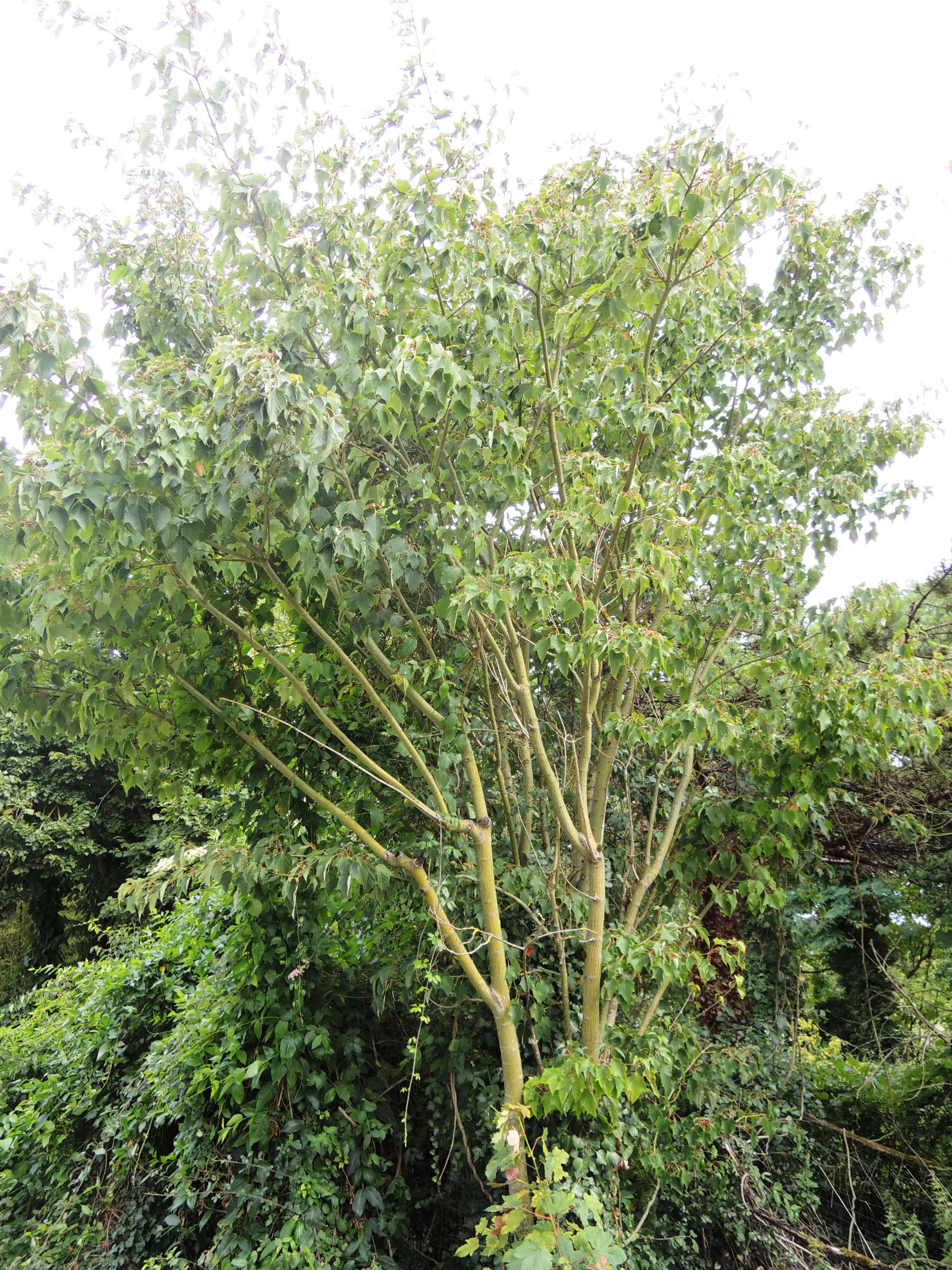 Acer Capillipes Acéracées