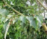 Acer Capillipes Acéracées(Feuilles)