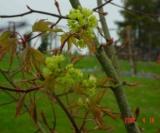 Acer Cappadocicum Var.tricaudatum