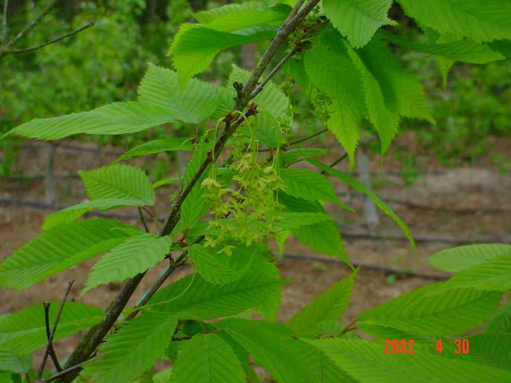 Acer Carpinifolia Aceraceae