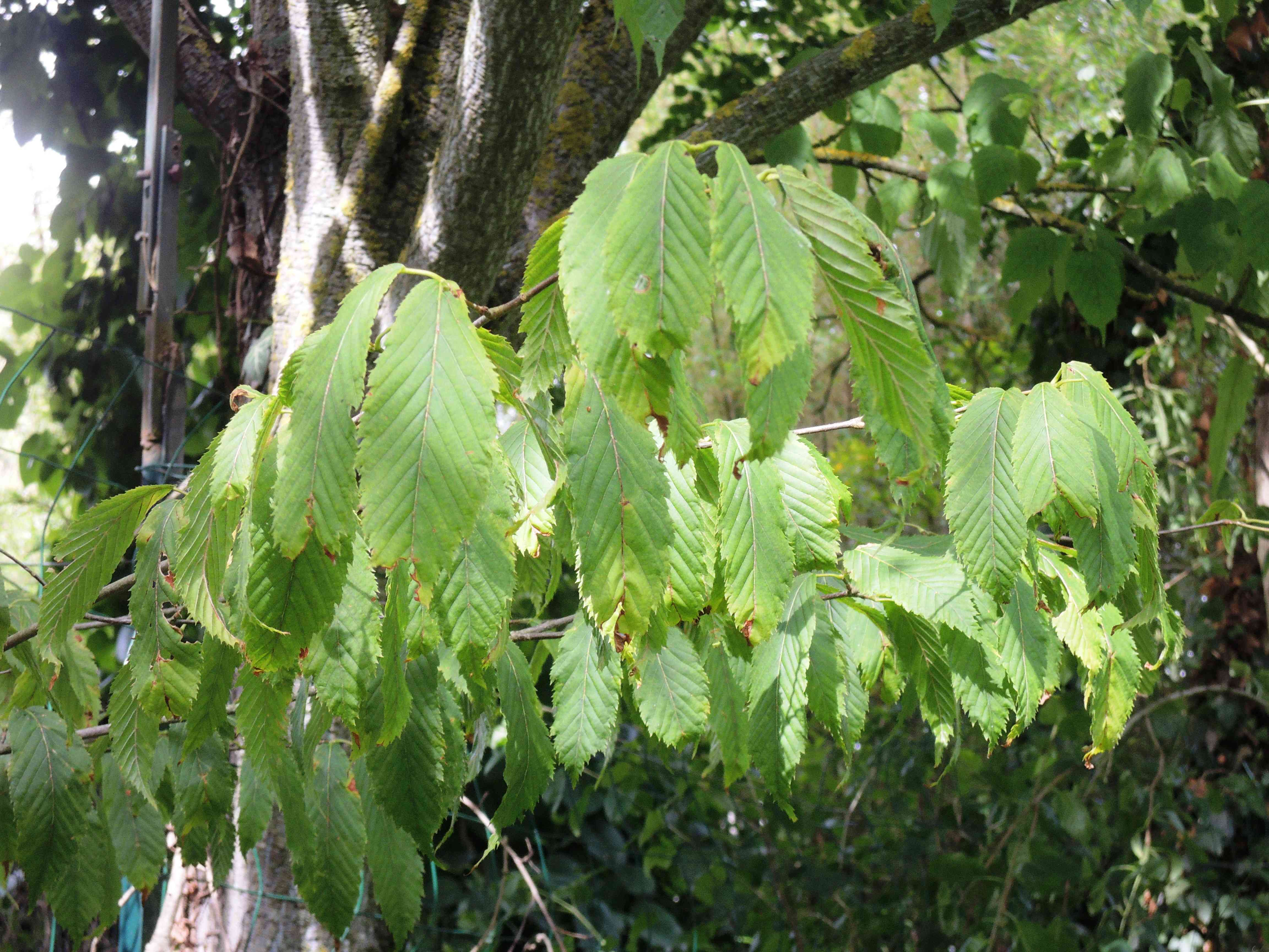 Acer Carpinifolium Acéracées