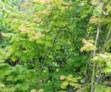 Acer Circinatum Acéracées