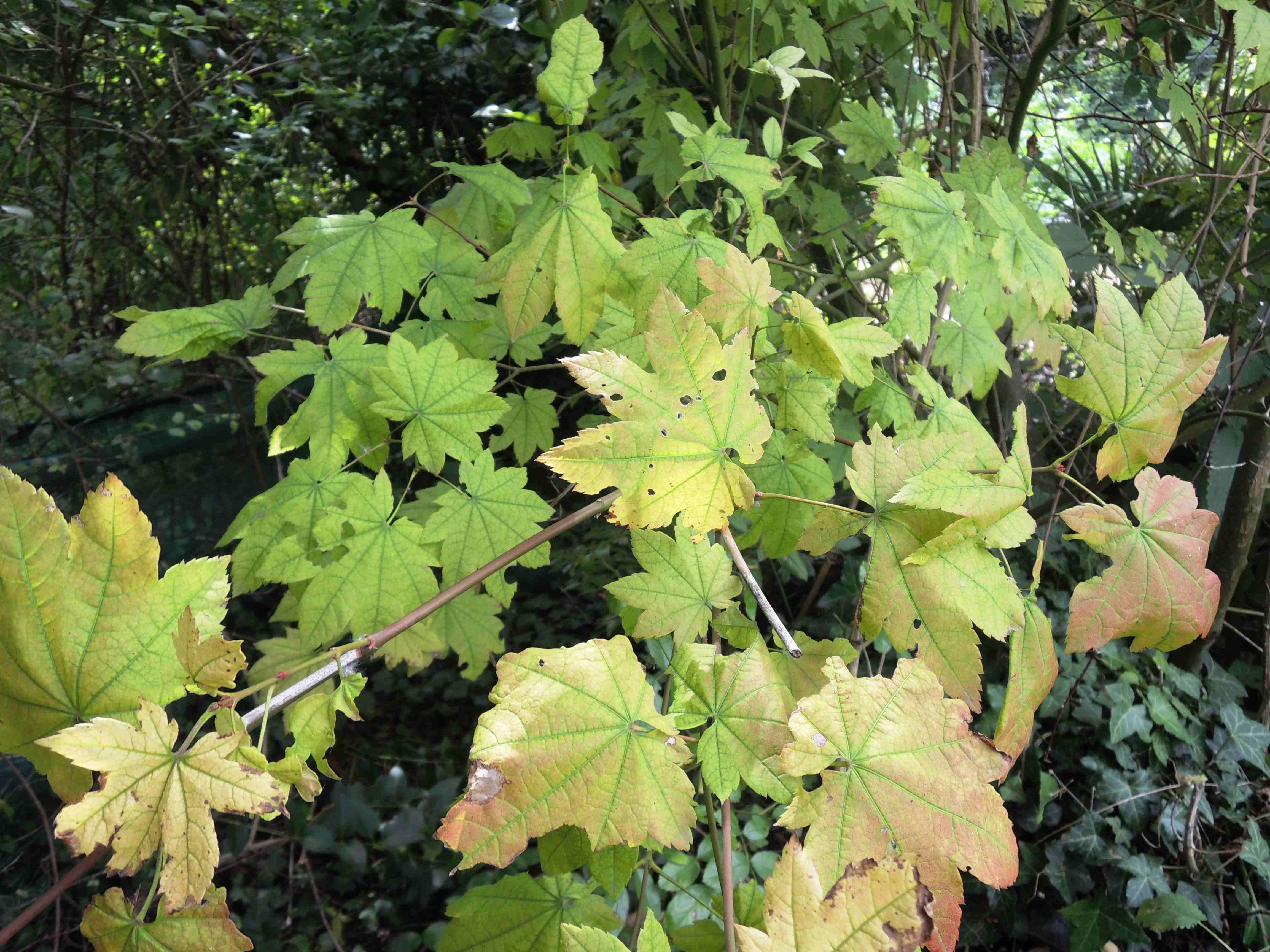 Acer Circinatum(Feuilles) Acéracées. - Copie
