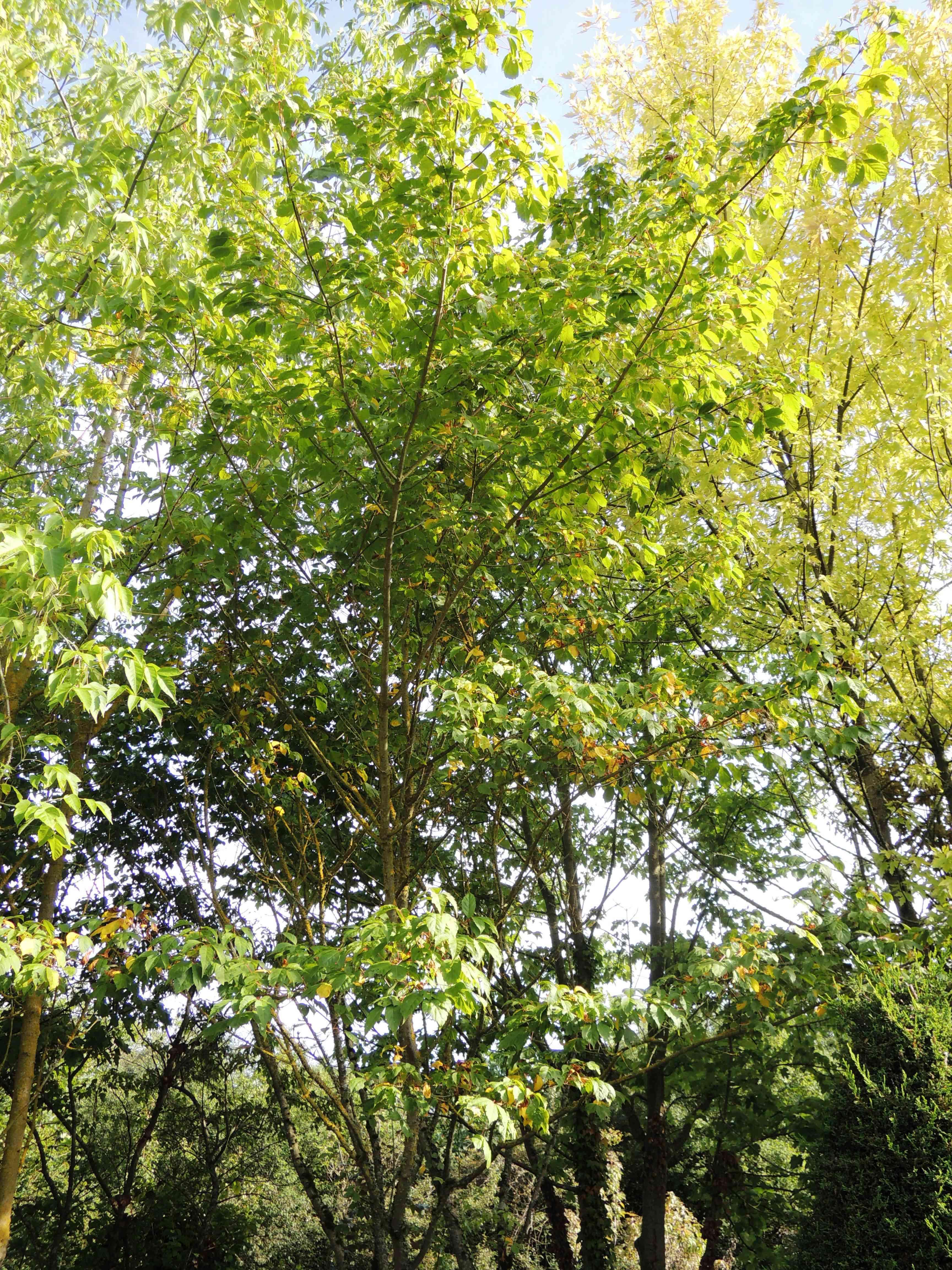 Acer Cissifolium Acéracées