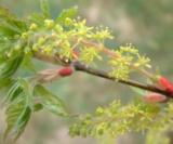 Acer Cissifolium (Fleurs) 2 Aceraceae