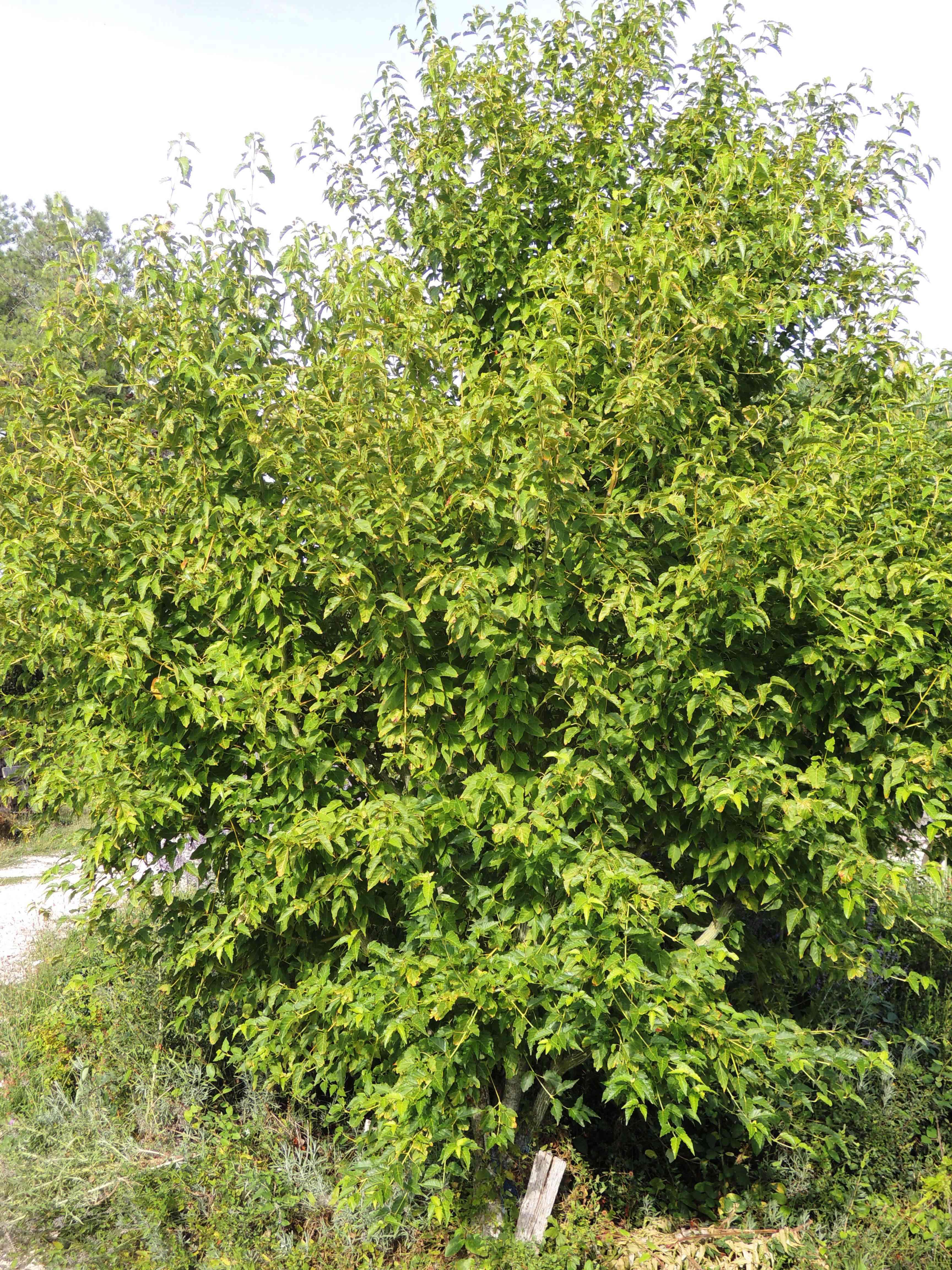 Acer Davidii 'scarlet Forest' Acéracées