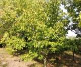 Acer Davidii Ssp. Grosseri Var. Hersii Sujet 2Aceraceae