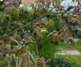 Acer Griseum Aceraceae