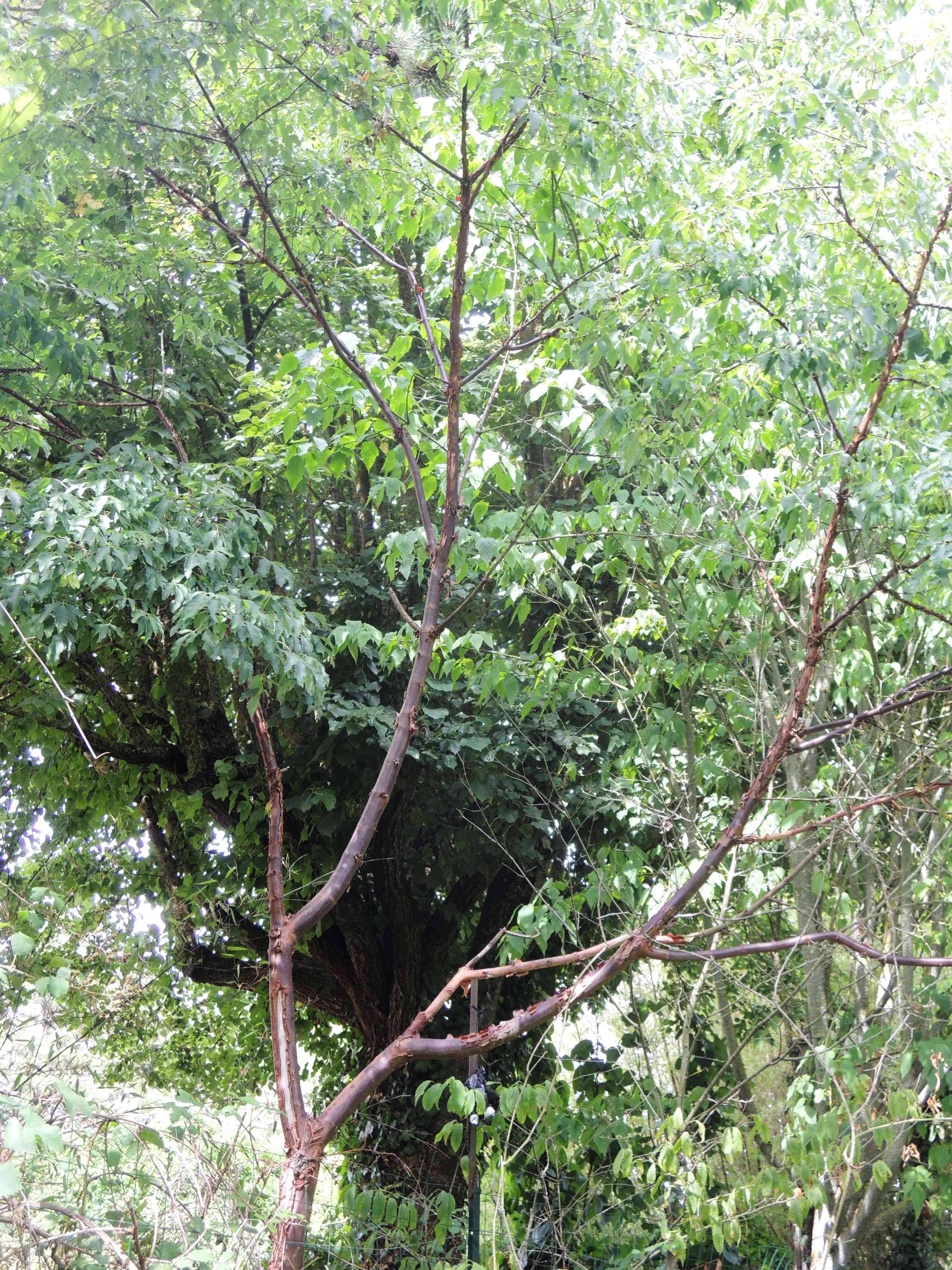 Acer Griseum Acéracées