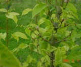 Acer Grosseri Var. Hersii (Fleurs) Aceraceae