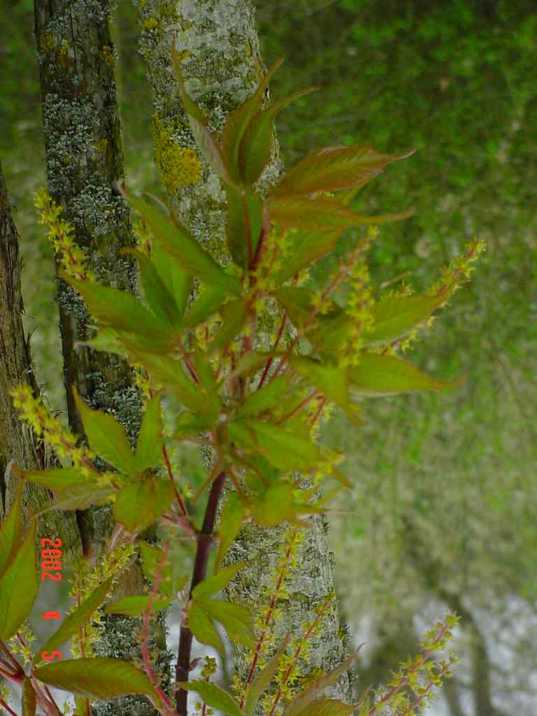 Acer Henryi(Fleur)