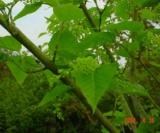 Acer Laxiflorum Aceraceae