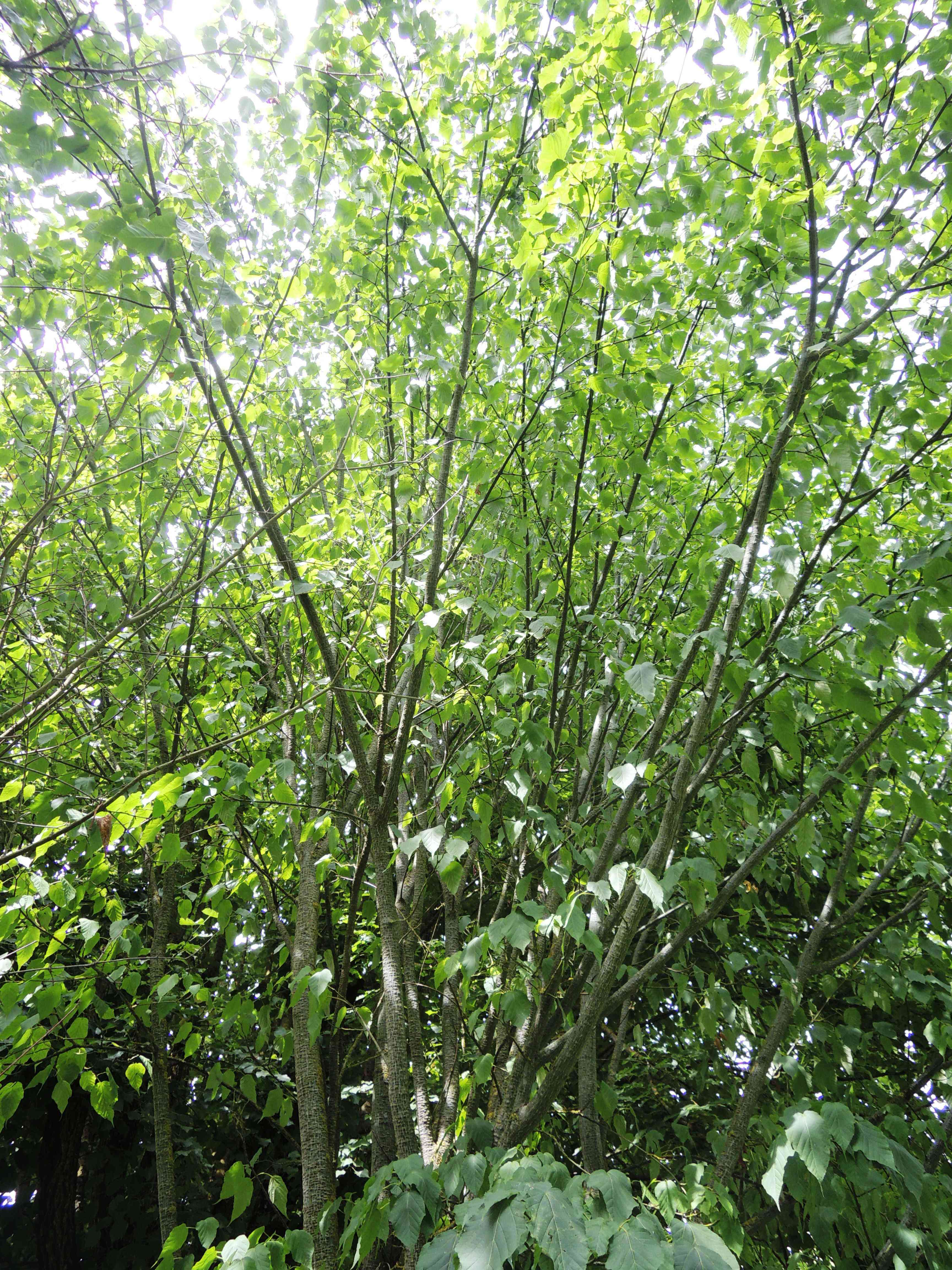 Acer Maximowiczianum Acéracées