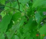 Acer Maximowiczianum (Fleurs) Aceraceae
