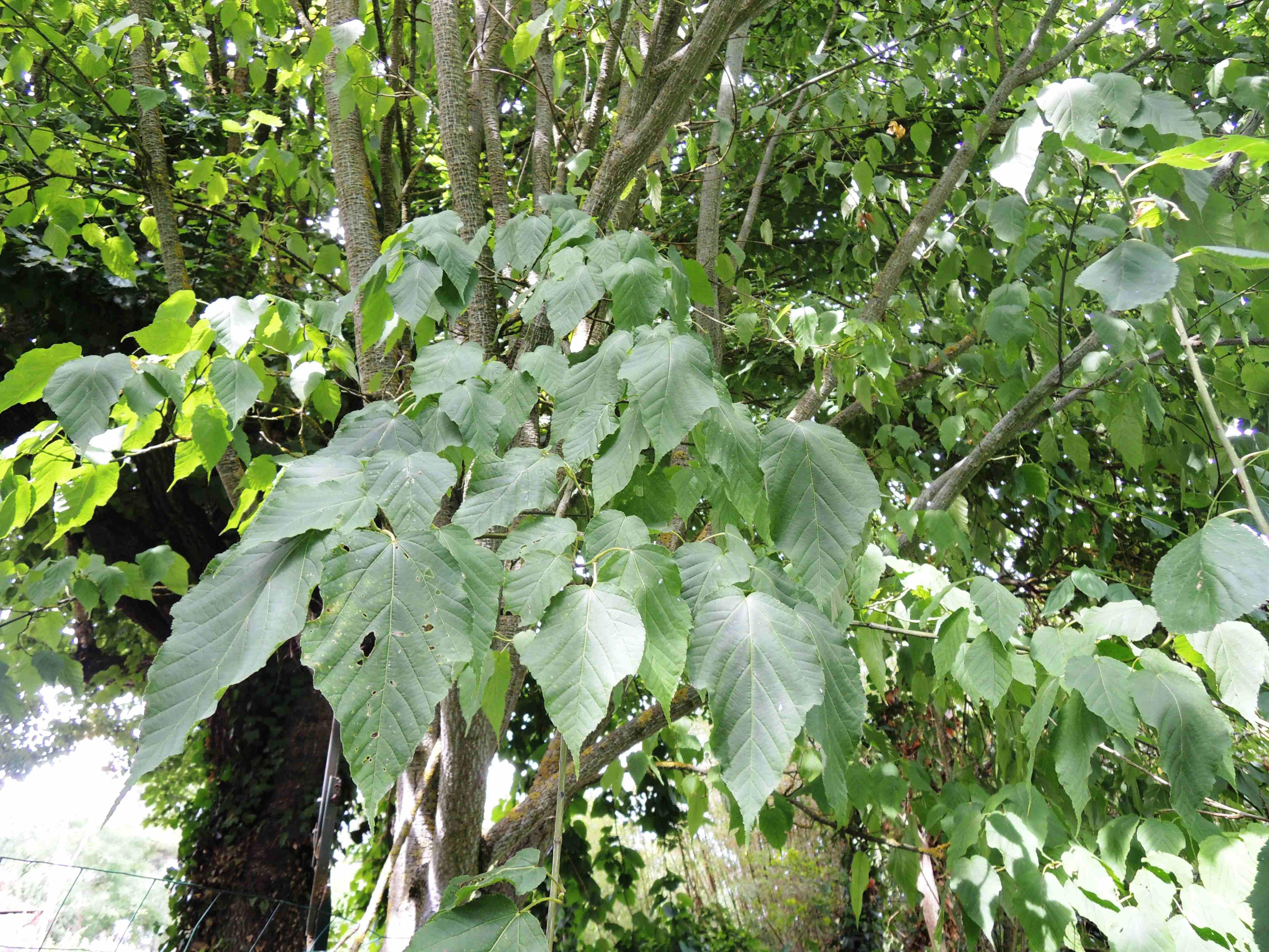 Acer Maximowiczianum(Feuilles) Acéracées