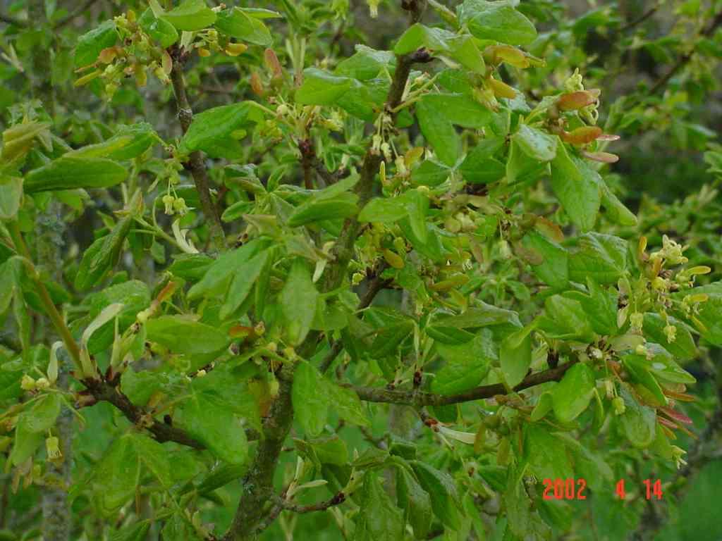 Acer Monspessulanum X Acer Campestris