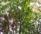 Acer Pectinatum Ssp.laxiflorum Acéracées