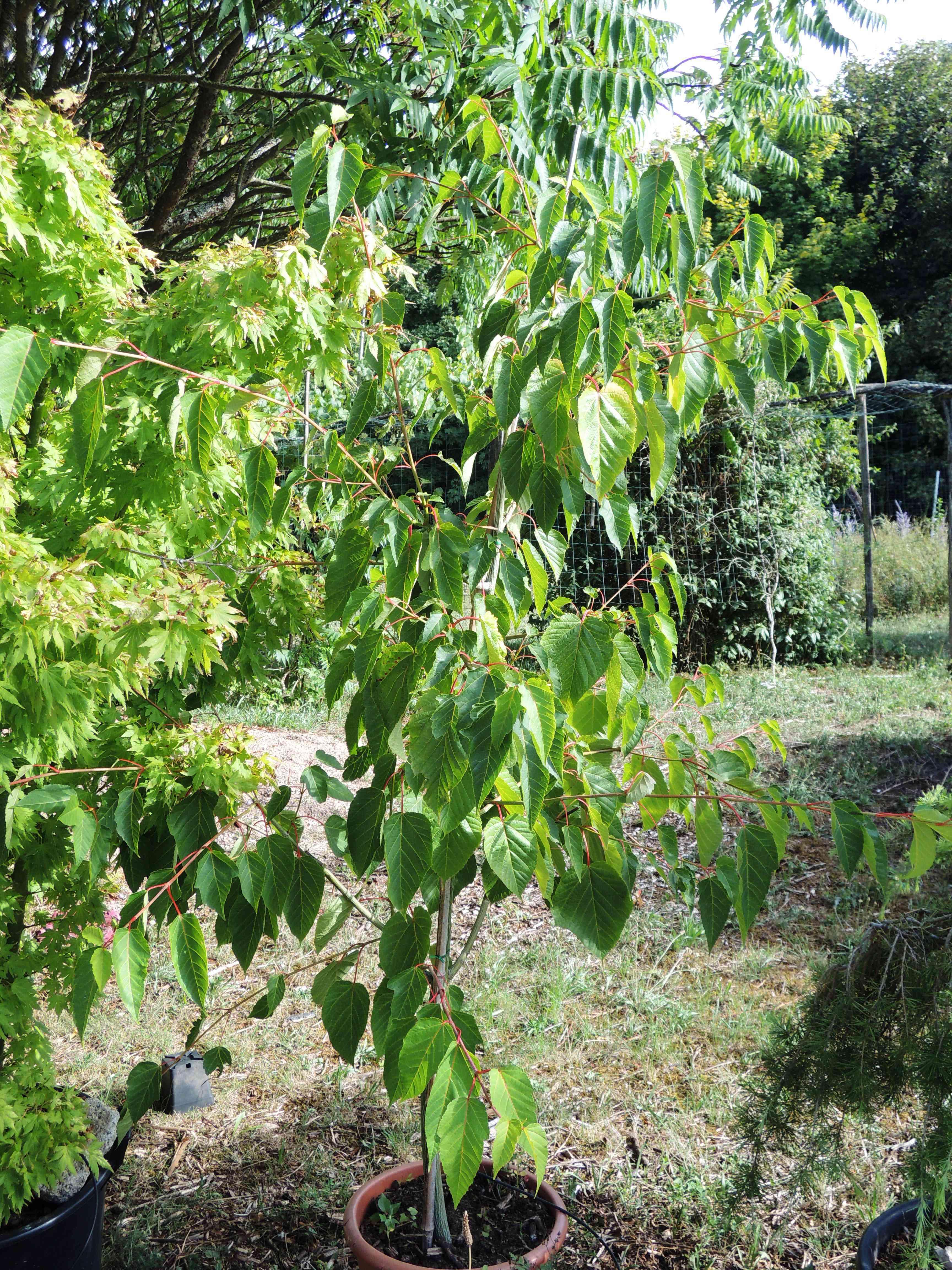 Acer Pectinatum Ssp.laxiflorum Jeune Sujet Acéracées