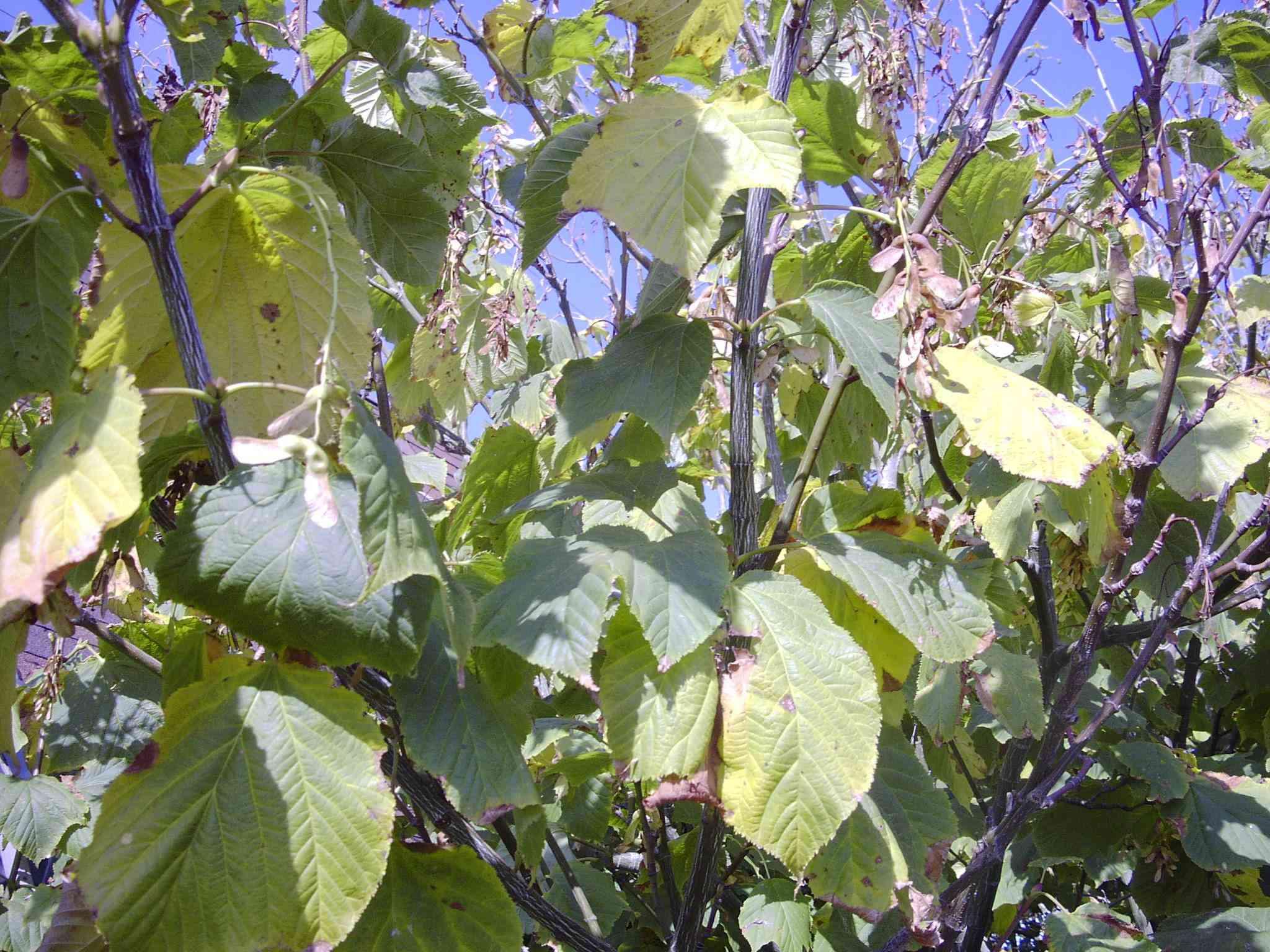 Acer Pensylvanicum Aceraceae