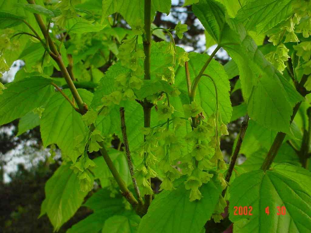 Acer Pensylvaticum(Fleurs) Aceraceae