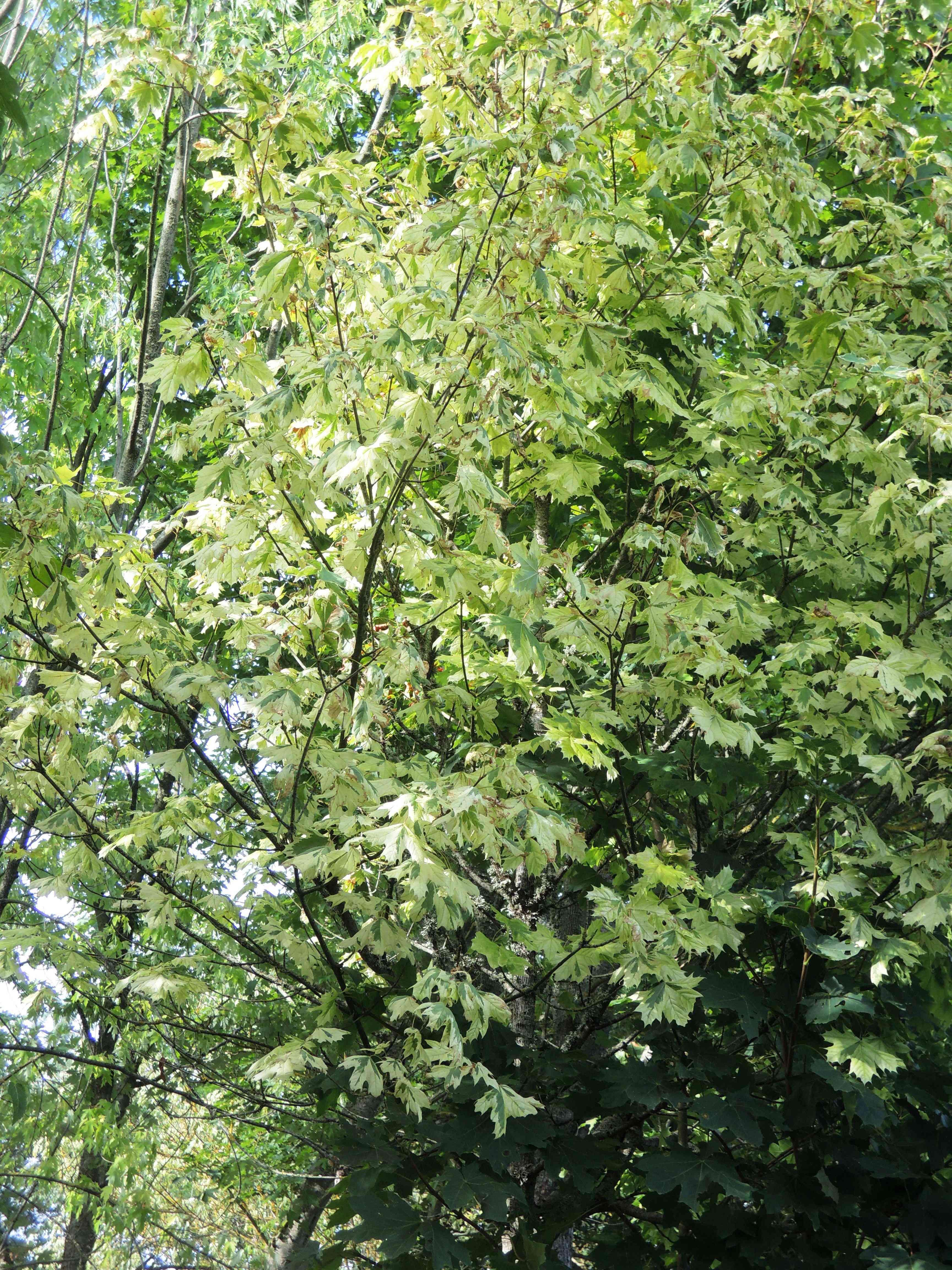 Acer Platanoides 'drumondii' Acéracées