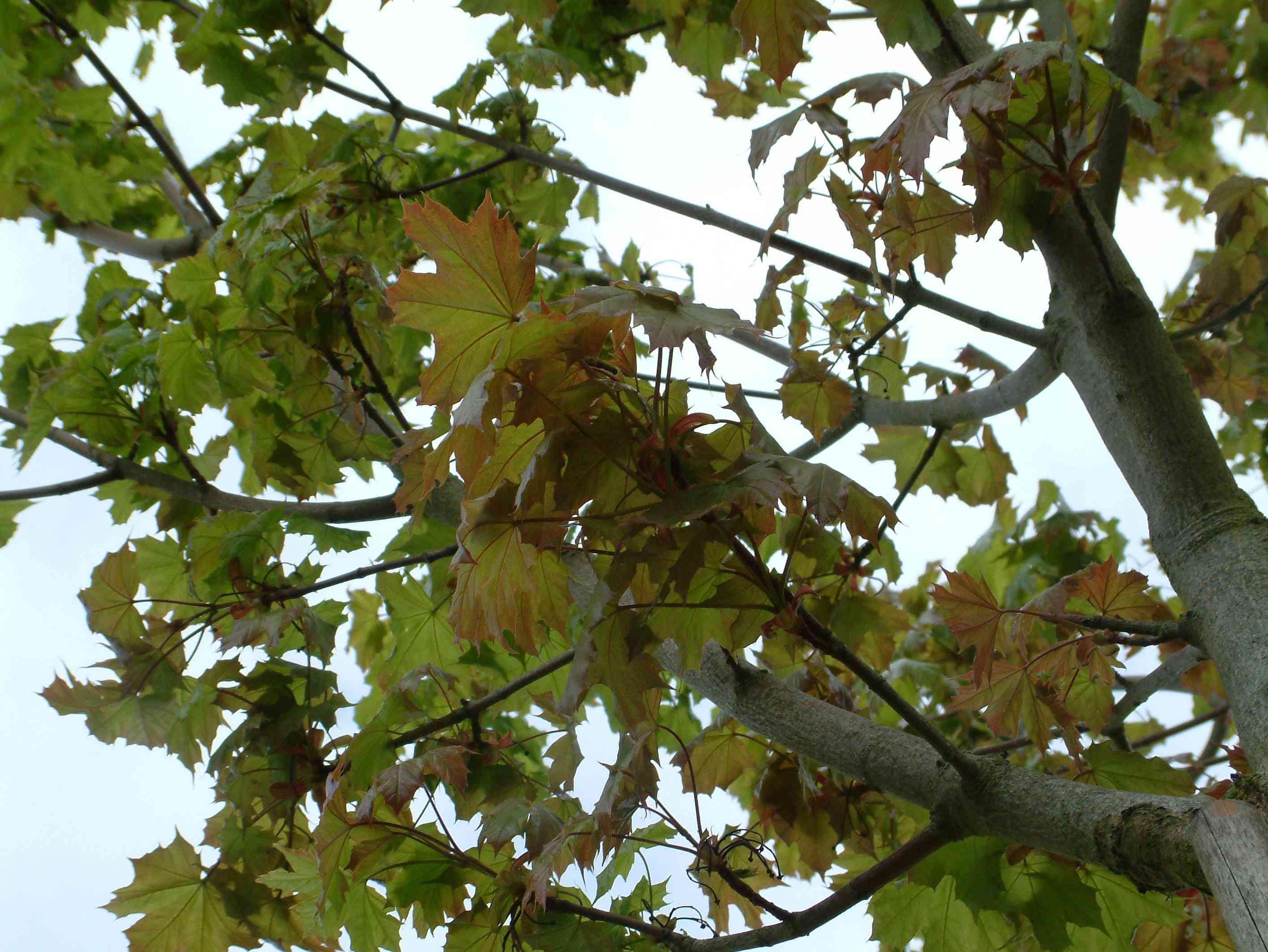 Acer Platanoides 'emerald Queen' Aceraceae