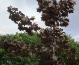 Acer Platanoides 'faassen Black' Acéracées