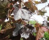Acer Platanoides 'faassen Black' (Feuilles)Acéracées
