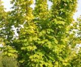 Acer Platanoides 'princeton Gold' Acéracées