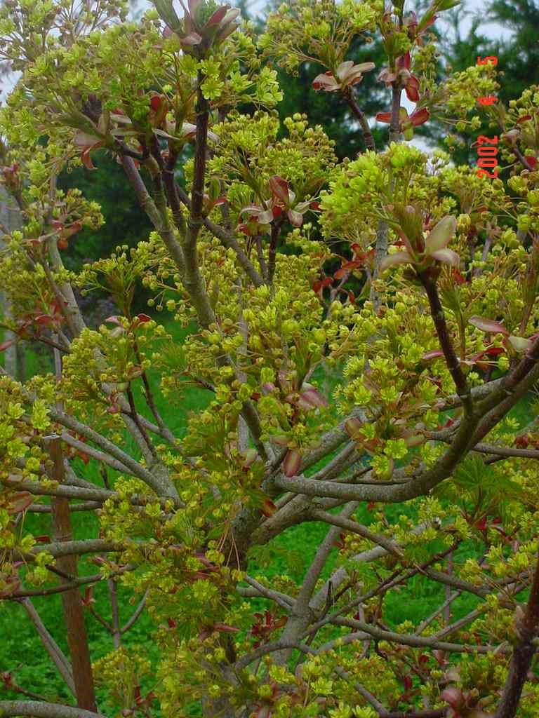 Acer Platanoides(Fleur)