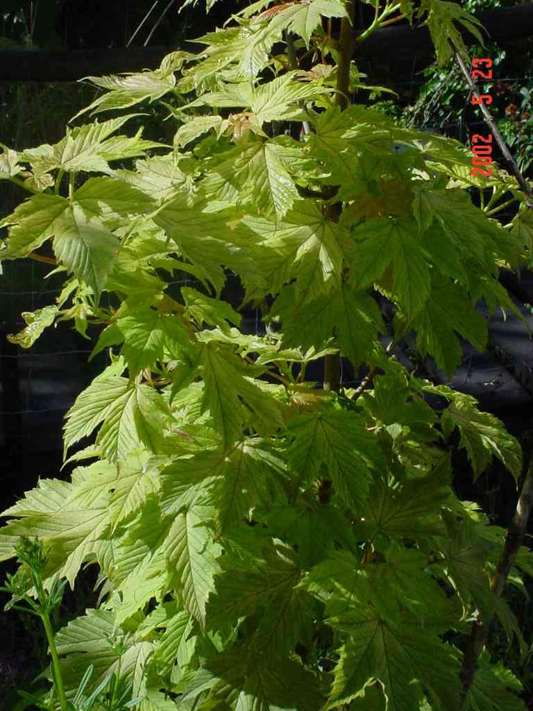 Acer Pseudoplatanus ' Brilliantissimum' Aceraceae