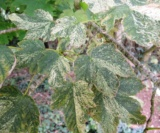 Acer Pseudoplatanus 'camille De Rohan' Feuilles Acéracées
