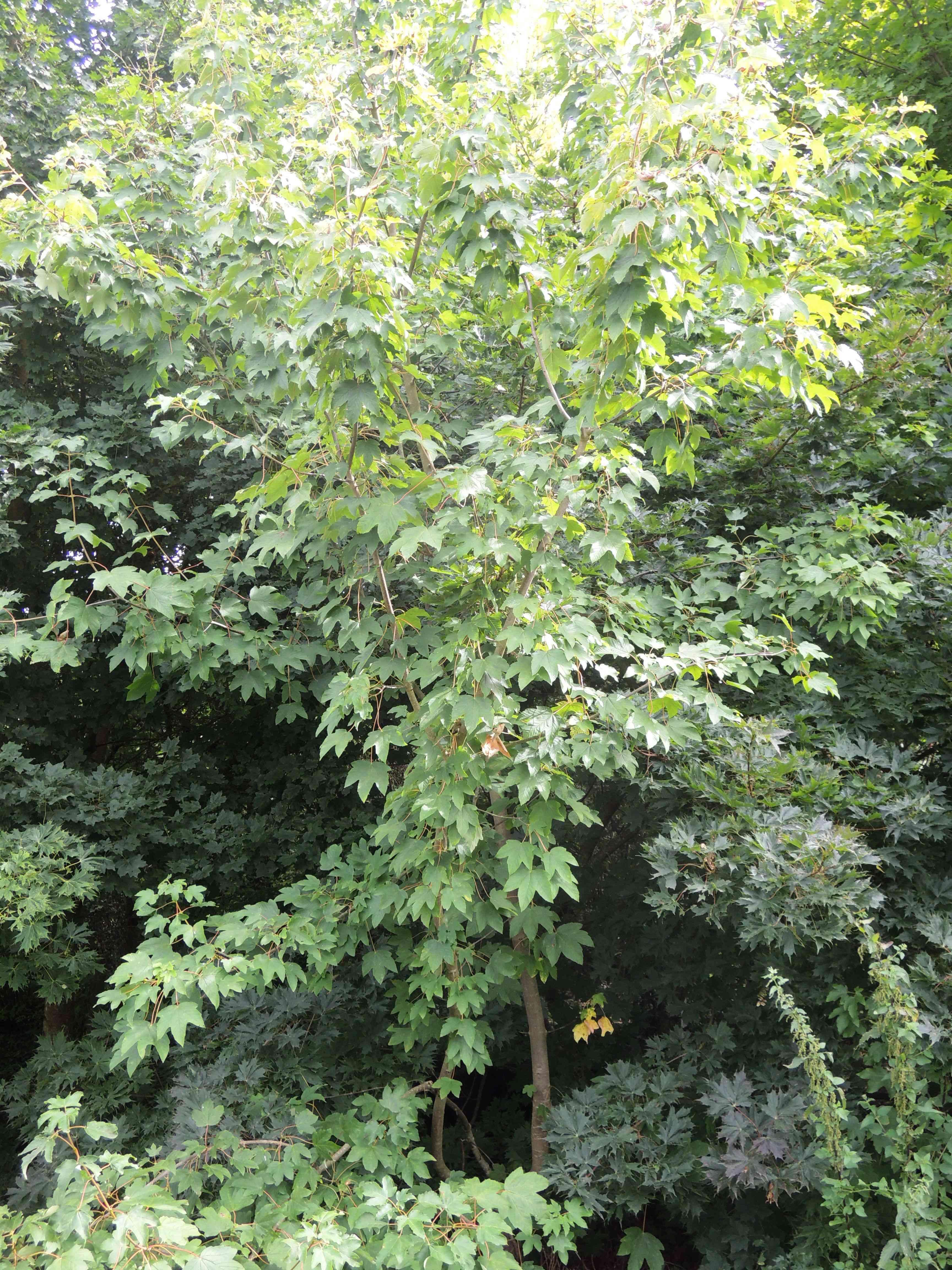 Acer Pseudoplatanus 'corstorphinense' Acéracées