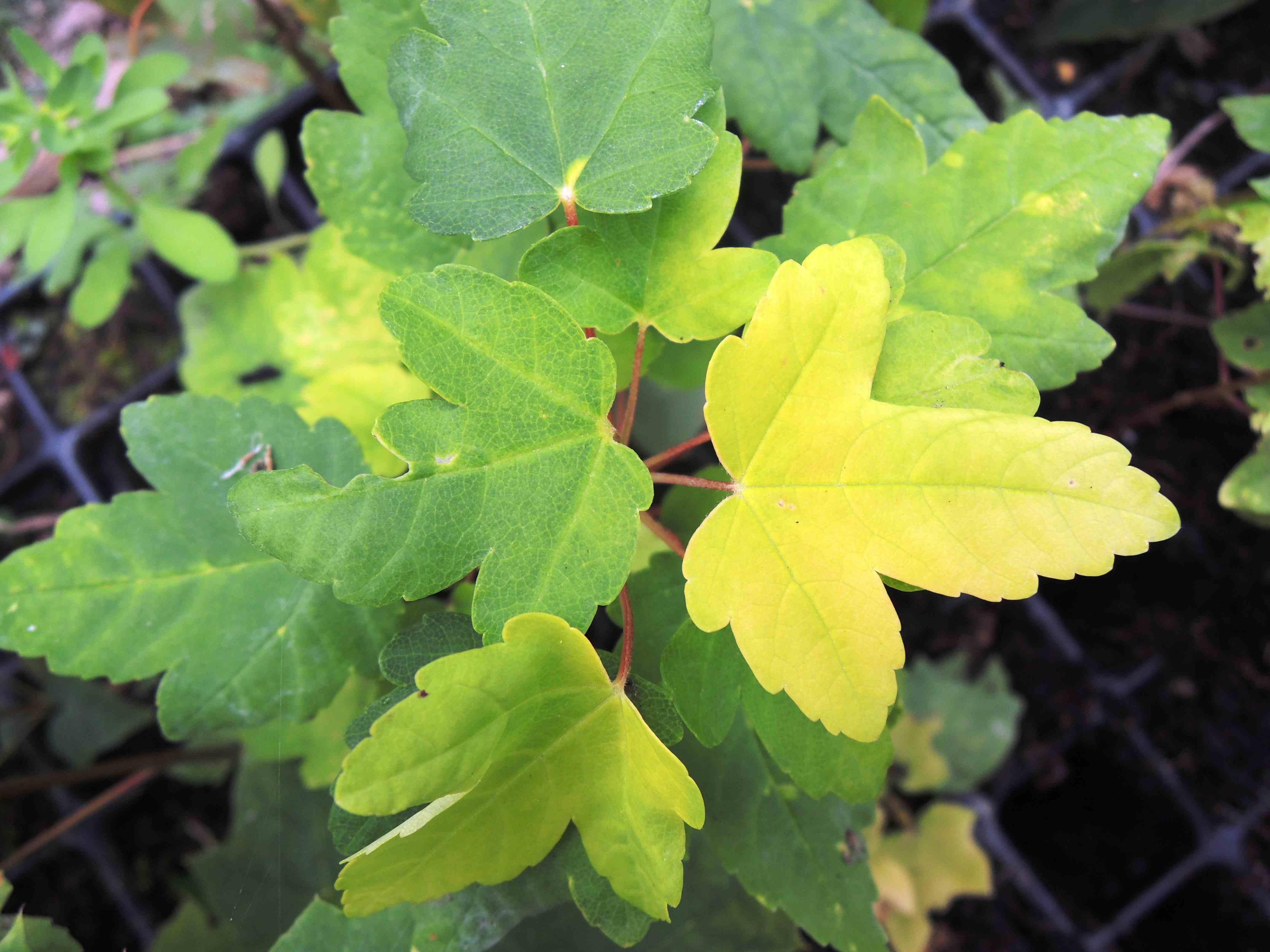 Acer Pseudoplatanus 'corstorphinense' Feuilles Acéracées2