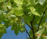 Acer Pseudoplatanus 'leopoldii' Aceraceae