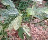 Acer Pseudoplatanus 'simon Louis Frères' Feuilles Acéracées