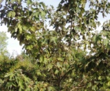 Acer Pseudoplatanus 'simon Louis Frères' Aceraceae