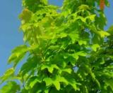 Acer Pseudoplatanus 'worleei' Aceraceae