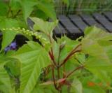 Acer Rufinerve Aceraceae