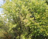 Acer Saccharinum 'born's Graciosa' Et Acer Conspicuum 'silver Vein'acéracées