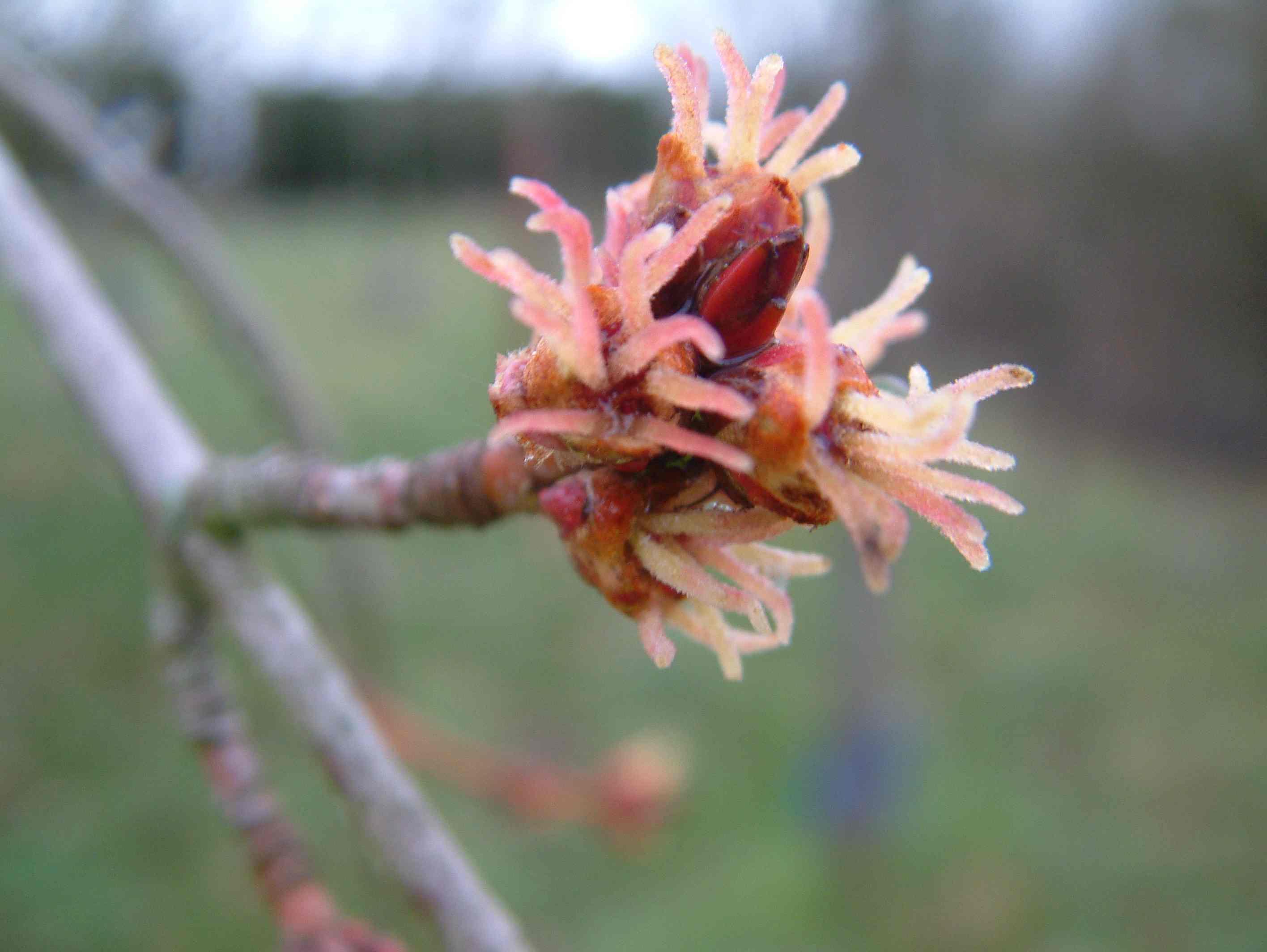 Acer Saccharinum (Fleurs) Aceraceae