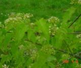 Acer Tataricum Ssp.ginnala