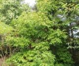 Acer Triflorum Acéracées