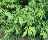 Acer Triflorum(Feuilles) Acéracées