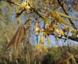 Acer Triflorum(Fleurs) Acéracées