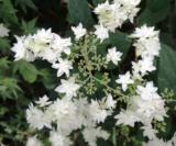 Hydrangea Arborescens Ssp.radiata 'hayes Starbust'2