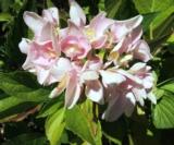 Hydrangea Macrophylla 'domotoi'