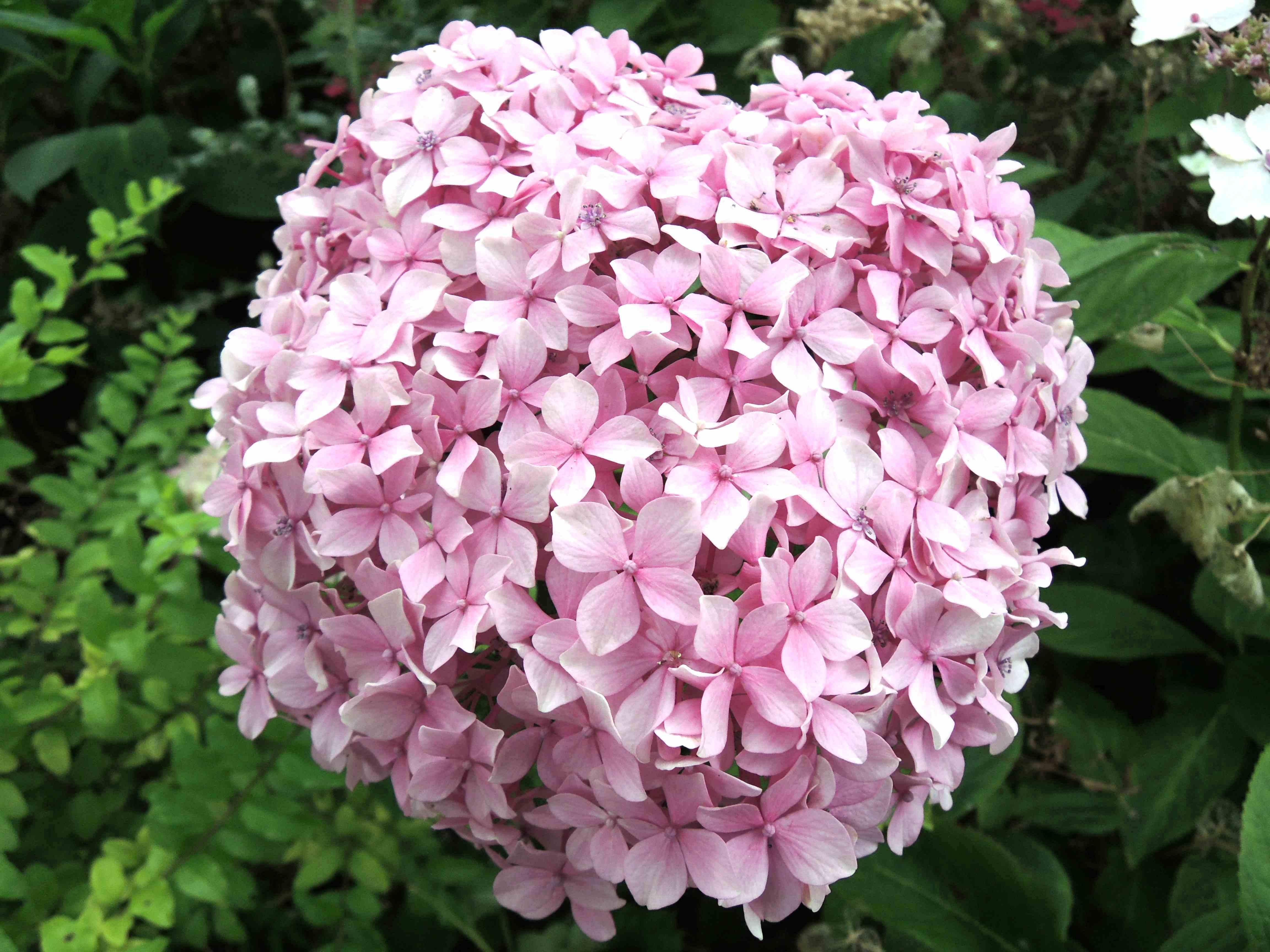 Hydrangea Macrophylla 'inspire'