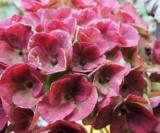 Hydrangea Macrophylla Révolution®